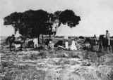 Picture of / about 'Sweers Island' Queensland - Image of the 'Investigator' tree on Sweers Island in 1871