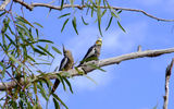 Picture of / about 'Gascoyne River' Western Australia - Gascoyne River Birds