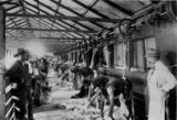 Picture relating to Barcaldine - titled 'Men shearing sheep at McLaughlin's Woolscour, Barcaldine, Queensland, ca. 1910'