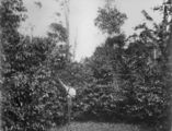 Picture relating to Atherton - titled 'Coffee plantation in Atherton, ca. 1927'