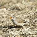Picture relating to Barcaldine - titled '♀ zebra finch'