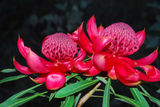 Picture relating to Blackheath - titled 'Waratahs in bloom'