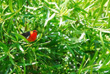 Picture of / about 'Kooragang Nature Reserve' New South Wales - Scarlet honeyeater