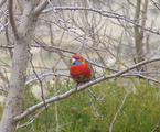 Picture of / about 'Yass' New South Wales - Crimson Rosella