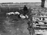 Picture of / about 'Hughenden' Queensland - Sheep in shearing pens at Afton Downs Station, Hughenden