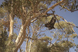 Eagle launch in Brachina Gorge