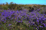Picture relating to Jurien Bay - titled 'Sand plain wildflower, Jurien Bay WA'