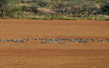 Picture of / about 'Gascoyne River' Western Australia - Birds - Carnarvon to Gascoyne Junction Road