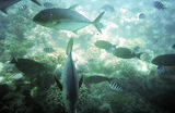 Picture of / about 'Cairns' Queensland - Giant Trevally (GT's) on the Great Barrier Reef off Cairns