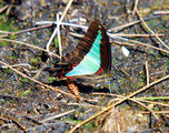 Picture of / about 'Kooragang Nature Reserve' New South Wales - Blue Triangle butterfly