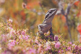 Picture relating to Chichester Range - titled 'Western Bearded Dragon'