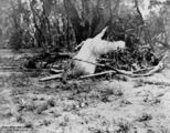 Picture of / about 'Blackall' Queensland - Dead sheep washed up after a flood at Blackall, Queensland, 1906