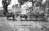 Picture relating to Marburg - titled 'Hauling sugar cane, Marburg, ca. 1910'