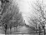 Picture relating to Yarralumla - titled 'Fruit trees in blossom, Yarralumla Nursery.'
