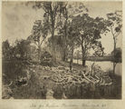 Picture relating to Ingham - titled 'Clearing the site for the Victoria Plantation at Palm Creek, near Ingham, ca. 1881'