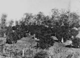 Picture relating to Buderim - titled 'Picking fruit from an Orchard at Buderim, 1907'