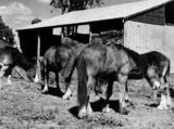 Picture relating to Murgon - titled 'Clydesdale horses on a horse stud at Murgon, September 1938'