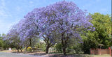 Picture relating to Wentworth - titled 'Jacaranda Trees Wentworth'