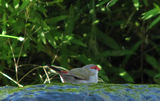 Picture relating to Derringullen Creek - titled 'Red-Browed Finch (Neochmia temporalis) drinking from Derringullen Creek'