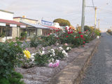 Picture relating to Biggenden - titled 'Rose gardens in the main street of Biggenden'