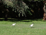 Picture relating to Sandringham - titled 'Ibises'