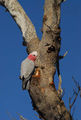 Picture relating to Lake Keepit - titled 'Galah'