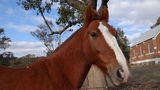 Picture of / about 'Brungle' New South Wales - Friendly Horse