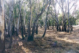 Picture relating to Echuca Nathalia Road - titled 'Echuca Nathalia Road: Echuca State Forest'