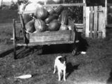 Picture of / about 'Beaudesert' Queensland - Load of watermelons at Beaudesert, ca. 1937