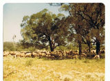 Picture relating to Uteara - titled 'Uteara - Sheep at the house bore'