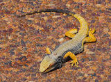 Picture of / about 'Castlereagh Highway' New South Wales and Queensland - Yellow Central Bearded Dragon