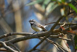 Picture of / about 'Kooragang Nature Reserve' New South Wales - Grey Fantail