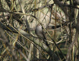 Picture relating to Yass - titled 'Grey Shrike Thrush'