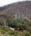 Picture relating to Thredbo River - titled 'Bushfire scars'