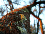 Picture relating to Mount Majura - titled 'Lichen growing on eastern side of tree'