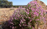 Picture relating to Gascoyne River - titled 'Gascoyne Region Flowers and Plants'